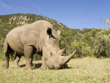 White Rhino, Breeding Animal for Introduction Eleswhere in Kenya, Kenya Photographic Print by Mike Powles