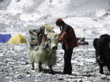 Yak and Sherpa, Nepal Fotografisk tryk af Michael Brown