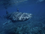 Whale Shark, with Diver, W. Australia Photographic Print by Gerard Soury