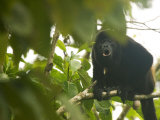 Mantled Howler Monkey, Sitting on Branch in Forest Calling with Mouth Open, Costa Rica Stampa fotografica di Roy Toft