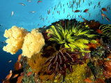 Reef with Crinoids, Komodo, Indonesia Photographic Print by Mark Webster