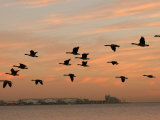 Canadian Geese in Flight in Chicago Photographie par Keith Levit