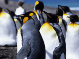 King Penguins (Aptenodytes Patagonica), Falkland Islands Photographic Print by Holger Leue