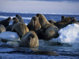 Walrus, Group on Ice, Canada Photographic Print by Gerard Soury