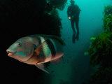 Sandagers Wrasse and Diver, New Zealand Fotografisk tryk af Tobias Bernhard