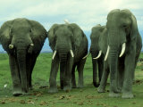 Elephants, Group of Bulls, Kenya Photographic Print by Martyn Colbeck