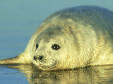 Grey Seal, Young Pup Close Up, UK Photographic Print by Mark Hamblin