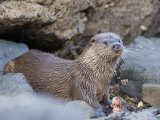 European Otter Eating an Eel on a Rocky Shore, Scotland Photographic Print by Elliot Neep
