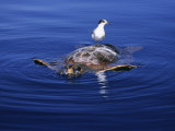 Loggerhead Turtle, with Tern on Back, Azores, Atlantic Ocean Photographic Print by Gerard Soury