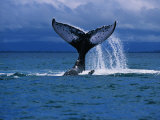 Humpback Whale, a Whale Tail Slapping, Sainte Marie Island, Indian Ocean Photographic Print by Gerard Soury
