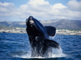 Southern Right Whale, Breaching, S Africa Photographic Print by Gerard Soury