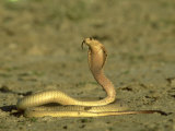 Cape Cobra, Yellow Form, Kalahari Gemsbok National Park, Sa Photographic Print by Tim Jackson
