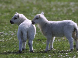 Young Lambs in Field of Daisies, Scotland Photographic Print by Mark Hamblin