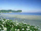 Daisies Along Crescent Beach, Washington Photographic Print by Adam Jones