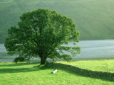 Tree and Wall, Scotland Photographic Print by Iain Sarjeant