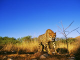 Cheetah, Snarling at Camera, South Africa Lmina fotogrfica por David Tipling