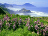 Lupine and Oregon Coastline, Oregon Photographic Print by Adam Jones