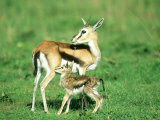 Thomsons Gazelle, with Baby, Kenya Photographic Print by Stan Osolinski