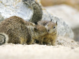 Beecheys Ground Squirrel, Squirrels Greeting, California, USA Photographic Print by David Courtenay
