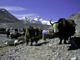 Yaks at the Base Camp of the Everest North Side, Tibet Affiche par Michael Brown