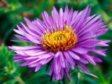Aster Novae-Angliae, Close-up of Purple Flower Photographie par Mark Bolton