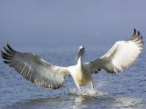 Dalmatian Pelican, Landing, Greece Photographic Print by Manfred Pfefferle