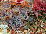 Sempervivum (Houseleek), Close-up of Mixed Succulents Lámina fotográfica por Susie Mccaffrey