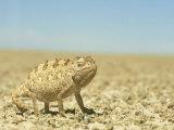Namaqua Chameleon, Namib Desert, Nambia Photographic Print by Tim Jackson