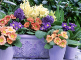 Hyacinthus Orientalis (Hyacinth) and Primula Polyantha (Polyanthus) in Container and in Pots Photographic Print by Lynne Brotchie