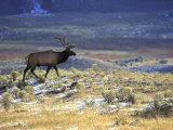 Rocky Mountain Elk, Yellowstone National Park, USA Photographic Print by Mark Hamblin