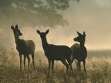 Red Deer Hinds Photographic Print by Mark Hamblin