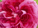 Rosa &quot;Reine Des Violettes&quot; (Hybrid Perpetual Rose), Deep Pink Flower Photographie par Mark Bolton