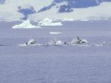 Antarctic Orca, Antarctic Peninsula Photographic Print by Rick Price