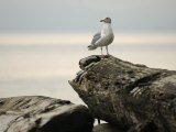 Seagull, Vancouver, British Columbia, Canada Photographic Print by Keith Levit