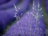 Lavender Fields in Flower, France Fotografie-Druck von Berndt Fischer