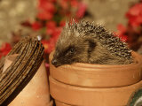 Hedgehog, Sat in Clay Flower Pot, UK Photographic Print by Mark Hamblin