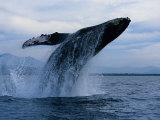 Humpback Whale, Breaching, Puerto Vallarta Fotografisk tryk af Gerard Soury