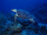 Hawksbill Turtle, Swimming, Caribbean Photographic Print by Gerard Soury