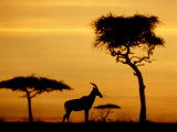Topi at Sunrise, Kenya Photographic Print by Steve Turner
