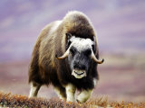 Musk Ox, Adult Female Walking Across Tundra in Autumn, Norway Photographic Print by Mark Hamblin