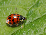 Harlequin Ladybird on Alkanet Leaf, London, UK Photographic Print by Elliot Neep