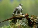 Goshawk, Feeding on Pheasant, Scotland Photographie par Mark Hamblin