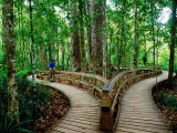 Boardwalk Around Four Sisters Kauri Trees, Waipoua Kauri Forest, New Zealand Photographic Print by Anders Blomqvist