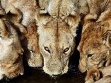 Lions Drinking, Ruaha National Park, Tanzania Photographic Print by Ariadne Van Zandbergen