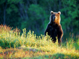 Grizzly of Kronotska National Park, Kamchatka, Russia Photographic Print by Daisy Gilardini