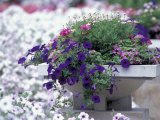 Petunias in Flower Planter Photographic Print by Adam Jones