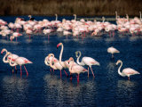 Flock of Pink Flamingoes, Camargue, France Photographie par Jean-Bernard Carillet