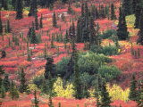 Red and Yellow Foliage of Denali National Park, Alaska, USA Photographic Print by Charles Sleicher