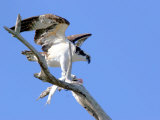 This Adult Osprey Dines on a Fresh Fish Photographie