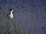 Black-Necked Stilt, Malheur National Wildlife Refuge, Oregon, USA Photographic Print by William Sutton